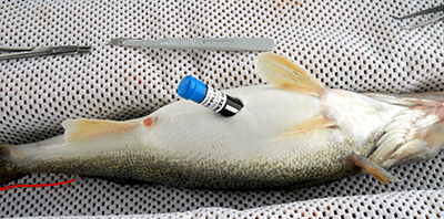 Acoustic telemetry tags are surgically implanted into the abdomens of walleyes. Walleye are anesthetized during the procedure and the incision is sutured after the tag is inserted.