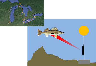 Overlapping pictures.  In the upper left is a map of the receiver network in the Great Lakes during this study. More than 300 receivers in Lake Huron and Lake Erie were used to track walleye, including multiple receivers in the Tittabawassee and Maumee rivers, near the river mouths, across key migration corridors, and along the shorelines of Lake Huron and Lake Erie.  Lower right is an illustration of a walleye with an acoustic telemetry tag (small black horizontal bar) swims passed a receiver (black box on cable with yellow float) anchored on the lake bottom. The tag regularly broadcasts an acoustic signal (red cone) specifying the unique ID number of tag.