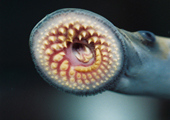 Parasitic Sea Lamprey Mouth