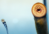 Adult Sea Lamprey on Glass with Transformer