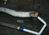 Tagging Sea Lamprey