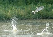 Flying Silver Carp, Close-up