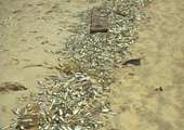 Dead Alewives on Beach