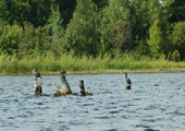 Cormorants in Water